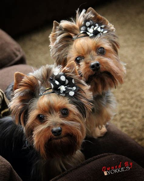 hair yorkie puppies 25 best ideas about yorkie puppies on teacup yorkie puppies
