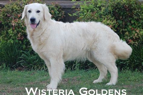 wisteria golden retrievers pin wisteria goldens golden retriever dogs for sale on