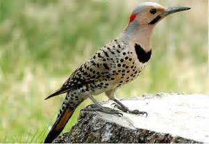 how to identify the state bird of alabama