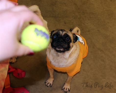 pug tennis new pug pals this pug