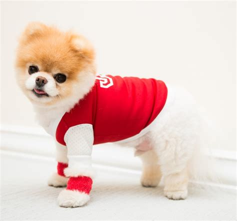 pomeranian wearing clothes boo buddy the coveteur coveteur