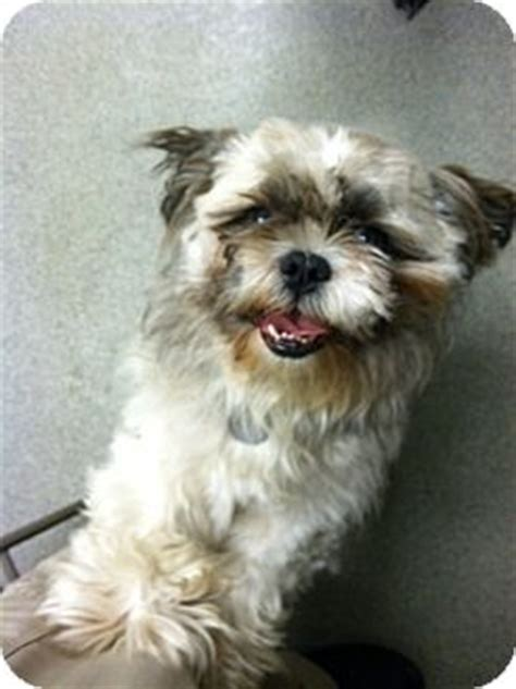 shih tzu denver adopted denver co shih tzu