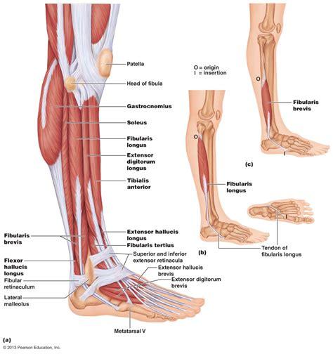 calf diagram human anatomy calf anatomy mri uw calf anatomy mri calf