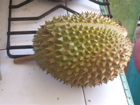 fruit with spikes durian jędrzej s borneo