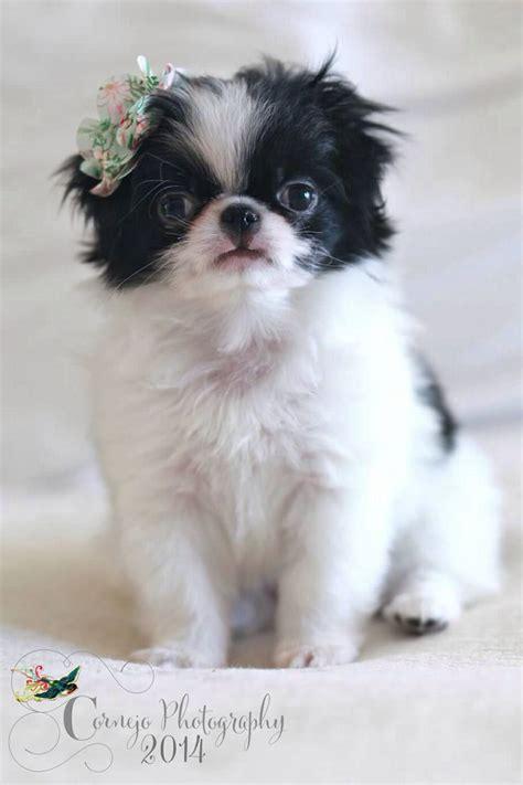 panda chin puppy haircuts japanese chin puppy binka animals pinterest