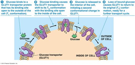 t protein in blood biol2060 cell biology