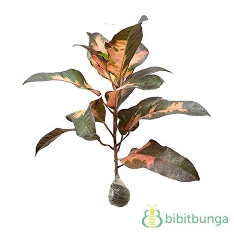 Tanaman Daun Puring Oscar tanaman puring koi bibitbunga
