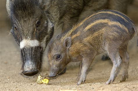 Climbing Plants In The Philippines - rare visayan warty pigs born at san diego zoo