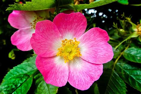 11 beautiful pictures of flowers project 4 gallery wild roses flowers wallpapers beautiful flowers wallpapers