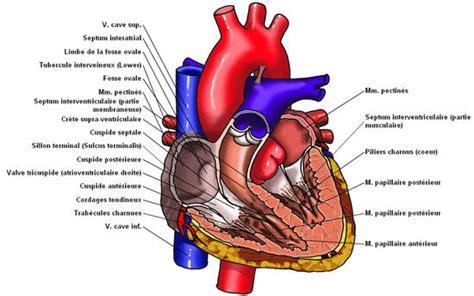 coeur anatomie coupe ventricule valve coeur illustration