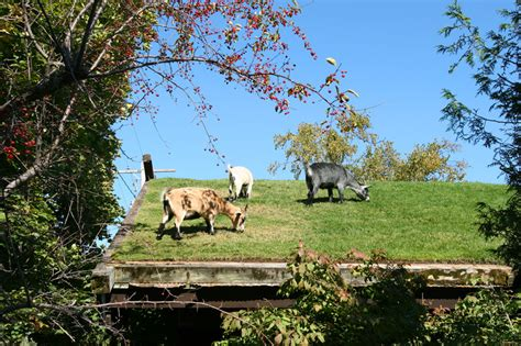 Goats On Roof Door County by The Roof Of This Restaurant Is A Koi Pond Pics