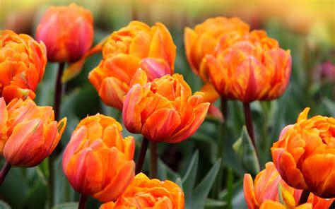 imagenes flores naranjas fondo de pantalla flores naranjas en el co hd