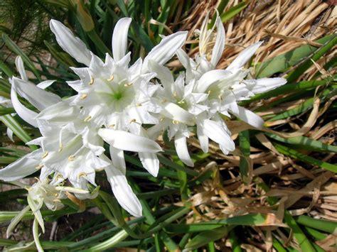 gigli fiore i gigli della spiaggia 1 foto immagini piante fiori
