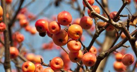 ls that look like trees is crab apple tree fruit dangerous livestrong com