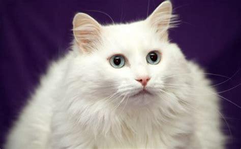 Kucing Anggora Cantik 10 gambar kucing lucu dan imut angora okeren
