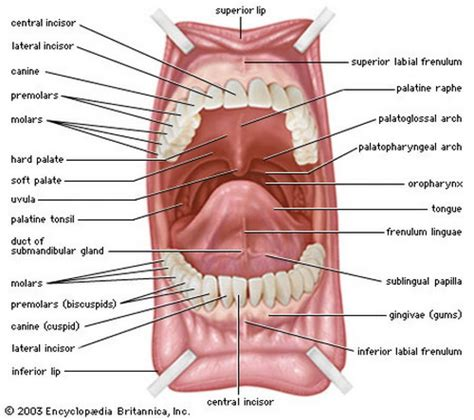 diagram back muscles muscles of the tongue diagram diagram of anatomy