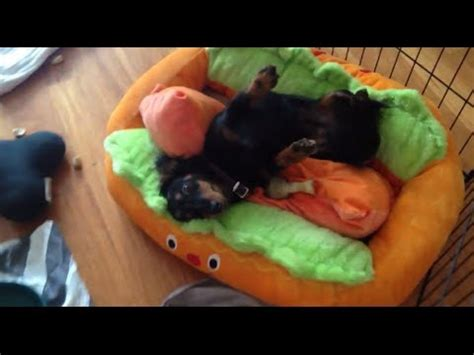 hot dog bun dog bed hilarious dachshund in hot dog bed cuteness weiner