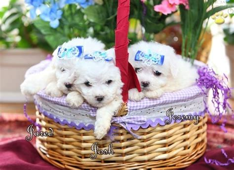 teacup bichon frise puppies for sale teacup bichon frise puppy teacup bichon frise puppies for sale dogs for sale
