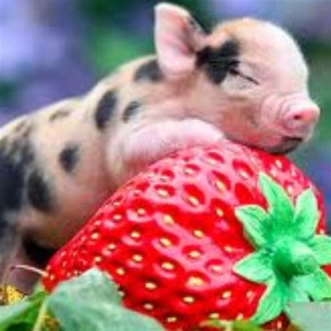 are teacup pugs real with a strawberry teacup pigs baby animals