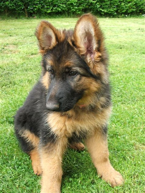 german shepherd puppies for sale in delaware pedigree german shepherd puppies for sale west midlands