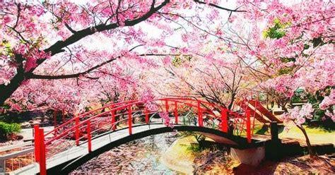 6 Butir Benih Bunga Bungur Jepang Merah jual bibit bunga 桜 櫻 asli jepang import kebun bibit bunga