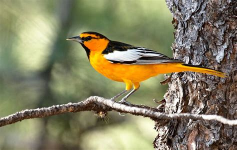 picture of a oriole bird featured birds baltimore and bullock s orioles