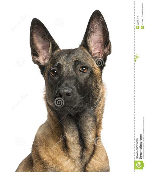 un dogs primer de un pastor belga imagenes de archivo imagen 30819404