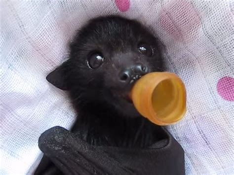 cute baby flying fox bat 347 best images about cutest bats ever on pinterest