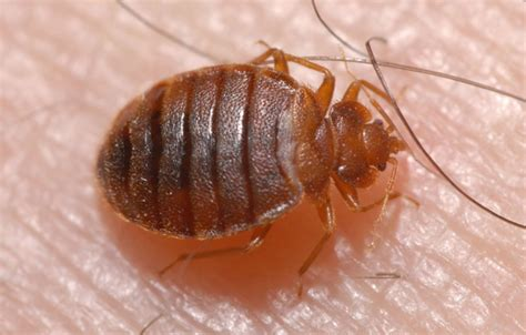 bed bug medicine pest control in san antonio abc home commercial services