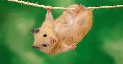 cute hamster hanging   wire hd animals wallpapers