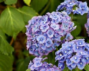 flower hydrangea hydrangea flowers blue free stock photo domain pictures