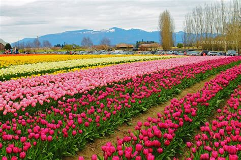 6 places to enjoy tulip festivals around the world