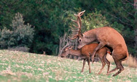 imagenes de animales apareandose la berrea del ciervo en espa 241 a d 243 nde y cu 225 ndo verla gu 237 a