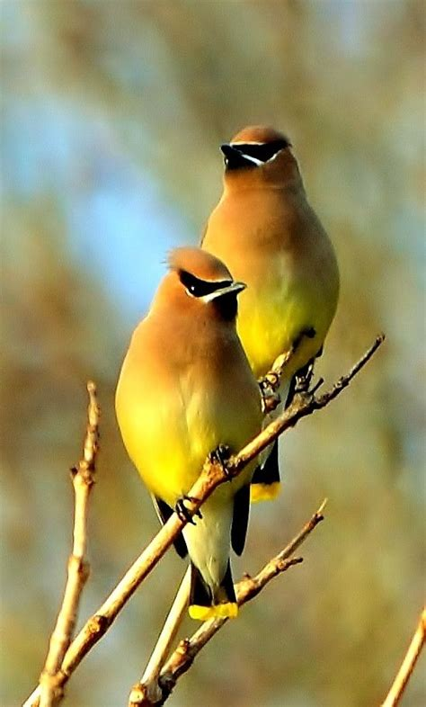 cedar waxwings photos and quotes pinterest