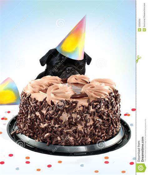 pug birthday cake hat pug birthday cake royalty free stock image image 13336356