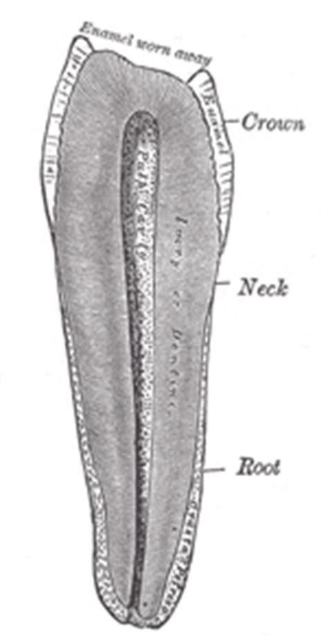 xi splanchnology   mouth gray henry