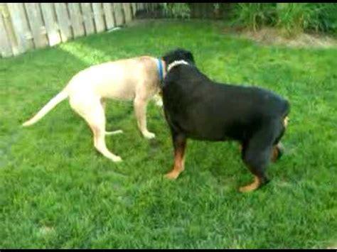 rottweiler episode rottweiler vs bullmastiff