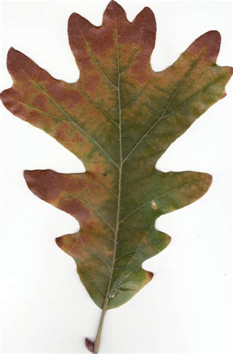 Leaf White file autumn white oak leaf jpg