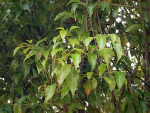 Fragrant Flower Trees - camphor tree friends of the urban forest