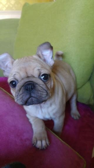 pug cross bulldog for sale pug cross bulldog puppy for sale barrow in furness cumbria pets4homes