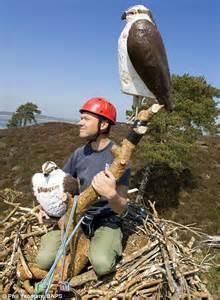 Fake Deer rspb use decoy osprey nests and 2ft polystyrene birds to