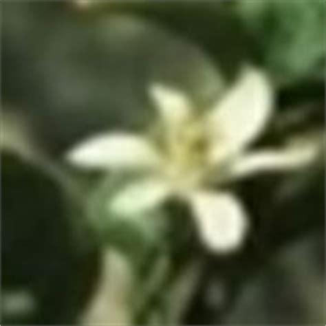 limone in vaso perde foglie perche la pianta di limone perde foglie domande e