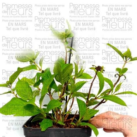 hydrangea serrata blue deckle hortensia petit arbuste - Deckenle Flur
