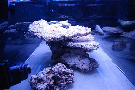 Aquascaping Reef by Aquascaping Show Your Skills Page 7 Reef Central