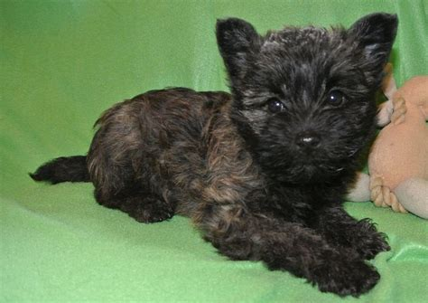 cairn terrier mix puppies for sale cairn terrier puppies for sale breeds picture