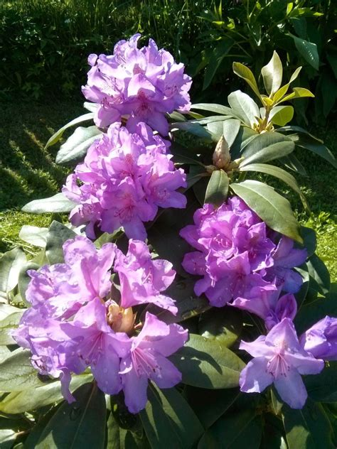 Rhododendron Flachwurzler by Rhododendron Catawbiense Boursault Rhododendron