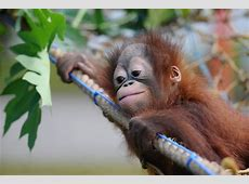 Two Orphaned Baby Orangutans Are Hand-Reared at Surabaya ... Kutai