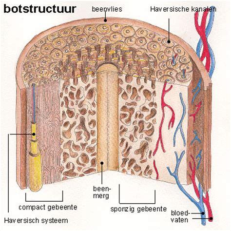 botters boten bouw botvormen skelet menselijk lichaam