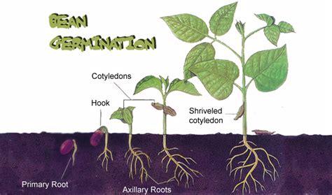 bean plant diagram klassen s bio 20 seed project agriculture
