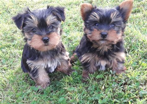 yorkie puppies miniature mini terrier puppies miniature yorkie can be kc in belfast city centre